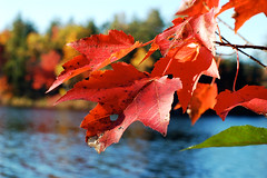 Leaves at the Lake (shutterbugMike) Tags: autumn autumnfoliage fallleaves fall leaf fallcolors newhampshire nh pemigewasset nikond50 autumnleaves autumncolors fallfoliage pemi meredithnh autumninnewengland fallinnh fallinnewengland lakepemigewasset meredithnewhampshire autumninnh