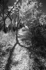 InfraForest (nicholsphotos) Tags: autumn shadow newmexico tree fall leaves abiquiu channelmixer ghostranch fauxinfrared nicholsphotos