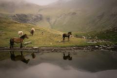 I - en algun racó del món / en algún rincón del mundo (Ferran.) Tags: horses horse cow cows catalonia reflexions pyrenees vaca ripolles puigmal estany queralbs cometadefontalba