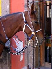 police horse (msdonnalee) Tags: horse mexico caballo cheval © sanmigueldeallende mexique cavalo pferd mexiko paard 馬 policehorse حصان donnacleveland sanmiguelpolicehorse photosbydonnacleveland