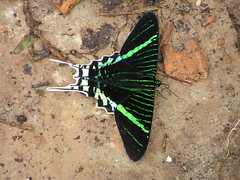 Urania leilus (Day Flying Moth) (Arthur Chapman) Tags: peru insects lepidoptera moths iquitos urania insecta ceibatops dayflyingmoth uraniidae uranialeilus leilus taxonomy:class=insecta taxonomy:order=lepidoptera geocode:accuracy=1000meters geocode:method=googleearth geo:country=peru taxonomy:genus=urania taxonomy:binomial=uranialeilus taxonomy:common=dayflyingmoth taxonomy:family=uraniidae