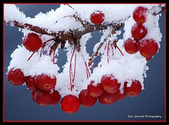 Red Berries in First Snow (Don Iannone) Tags: snow robin birds goldfinch firstsnow americanrobin pinecones snowytrees tistheseason macrophotography naturesfinest evergreentree encarnado bej nikond80 worldbest snowyberries evergreentreewithsnow flickrdiamond theunforgettablepictures doniannone theunforgettablepicture colourartaward unforgettablepicture tff4 themacrogroup pictureperfectgroup naturespotofgold mayfieldvillageohio hiddentreasuregroup artofimages thecelebrationoflife tff3 tistheseasonappreciation snowandbirds golfirstsnow pineconeswithsnow autumnleavesinsnowfirstsnow zoomphotographyfirstsnowfirstsnow tff5 exploretff