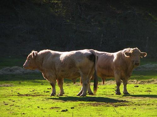 Mirror Bulls