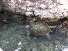 DSCN0750 (Susan M. Hill) Tags: turtle excaret cancunmexico