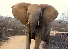 Elephant-Madikwe (Caitlin O'Sullivan) Tags: africa elephant caitlin skin south mother ears trunk twigs savanna madikwe