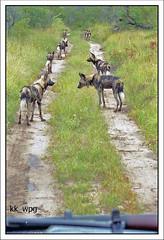 AFRICAN WILD DOGS,  Mala Mala, South Africa (kk_wpg) Tags: africa travel 2002 game animals southafrica scenery wildlife safari mpumalanga kruger wildanimals gamereserve wilddogs travelpictures travelphotos malamala africanwilddogs kkwpg