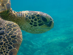 Eye of the Turtle (Kumukulanui) Tags: hawaii honu bigisland greenturtle kahaluu mywinners