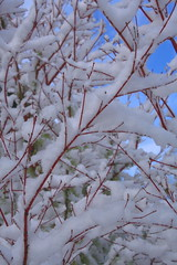 Coral Maple with Snow (jkeenan501) Tags: red snow coral maple inoregon redbark coralmaple oforegon