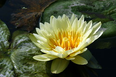 Water lily (ddsnet) Tags: plant flower water waterlily lily sony 350 aquatic   aquaticplants        sinpu  tetragona water   350 lily nymphaeatetragona waterlily    plants flowerinjapan nymphaeatetragon aquatic nymphaea tetragona plantsnymphaea