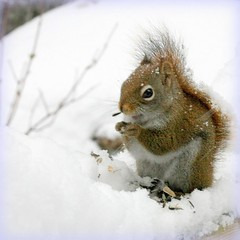 snow on my tail on Front Page :-) (Nancy Rose) Tags: snow squirrel nuts fluffy seeds chilly flakes naturesfinest vosplusbellesphotos