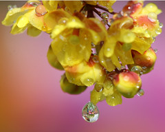 What's in a drop? Berberis, dewdrops and a few refractions. (Mukumbura) Tags: pink flowers macro yellow dewdrops tulips upsidedown buds waterdrops refractions berberis canonef100mmf28macrousm mywinners macromarvels theperfectphotographer whatsinadrop