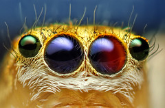 Anterior Median and Lateral Eyes of a Female Jumping Spider - (Maevia inclemens) (Thomas Shahan) Tags: blue portrait macro reflection slr face k vintage hair lens prime spider jumping eyes colorful close asahi pentax takumar zoom head thomas small 28mm mount scales jumper reversed dslr vivitar bellows softbox median diffuser opo macrophotography bayonet salticid anterior shahan salticidae dimorphic macrolicious thyristor maevia inclemens terser taxonomy:family=salticidae k200d taxonomy:binomial=maeviainclemens