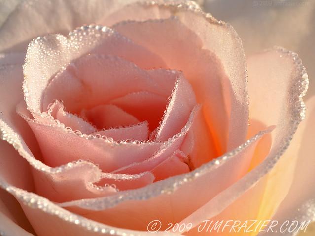 Rosy Dew