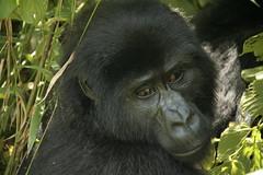 Mountain Gorilla from Nkuringo group - Bwindi Impenetrable Forest, Uganda