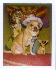Being Mexican is not a crime (EllenJo) Tags: arizona dog chihuahua polaroid az mexican april sombrero mexicans floyd 2010 1070 bigshot polaroidlandcamera instantfilm polaroidbigshot fujifp100c arizonalife fujiinstantfilm ellenjo ellenjoroberts april2010 passportrait sb1070 americanbornmexican againstarizonasnewruling pleasegetridofthislaw janbrewerstinks pleasedonotboycottarizona bill1070