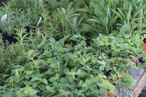 virginia grown herb plants