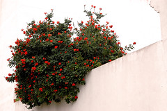 Red and green against white background (gornabanja) Tags: city travel red vacation espaa white holiday plant flower green tourism architecture town andaluca spain nikon d70 huelva andalusia andalusien spanien moguer