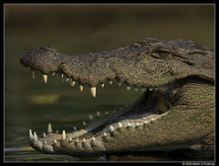Mugger Crocodile (nidhingpoothully) Tags: canon photography photographer wildlife karnataka mysore reptiles ranganathittu crocodylidae nidhin muggercrocodile canon300mmf4 canon40d