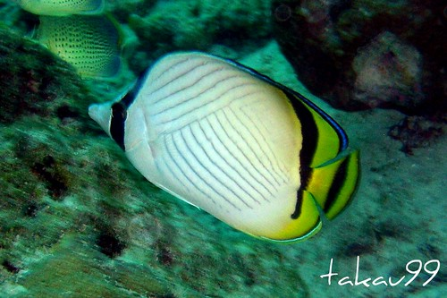 Vagabond Butterflyfish on Similan Islands