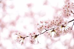 SAKURA -  (*Sakura*) Tags: pink flower japan tokyo spring blossom explore  cherryblossom sakura bud    macro