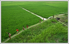 Futile Fields [..Daudkandi, Bangladesh..] (Catch the dream) Tags: green field children landscape rice paddy bongo joy wide happiness run agriculture bengal bangladesh bangla watering bengali vast bangladeshi bangali daudkandi catchthedream gettyimagesbangladeshq2