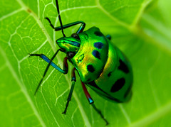 Green Beetle and not from VW