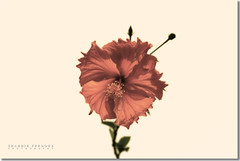 Sun Kissed (Shabbir Ferdous) Tags: flower photographer hibiscus rosemallow bangladesh bangladeshi disambiguation canoneosrebelxti flowersofbangladesh shabbirferdous redjoba sigmazoomtelephoto70300mmf456apodgmacro wwwshabbirferdouscom shabbirferdouscom