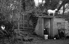 Hen & Goat, Bun-a-tSleibh Cottage, County Wicklow