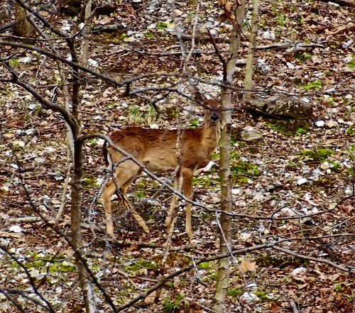 Rockwoods Reservation, in Saint Louis County, Missouri, USA - deer