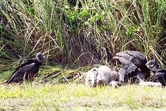 Black Vultures Feasting on a Dead Alligator (jrozwado) Tags: usa bird nationalpark florida reptile wildlife alligator everglades wildanimal vulture unescoworldheritage