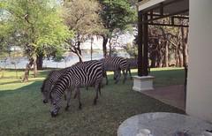 2004-A206  Zambia (Old Fogey 1942) Tags: africa zambia livingstone zambeziriver royallivingstonehotel 2004a206