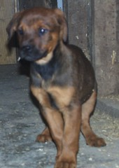 Gizmo (muslovedogs) Tags: dogs puppy mastweiler