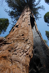 20080504 Giant Sequoia