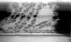 barlett-ivy