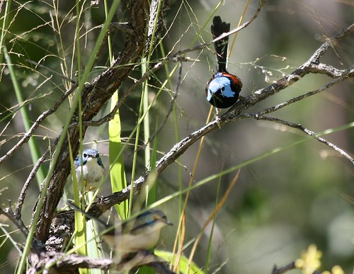 Lovely Fairy-wrens