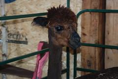 Giraffe alpaca!