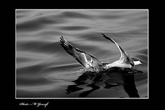007 (m_yousefi) Tags: sea bird animal canon30d