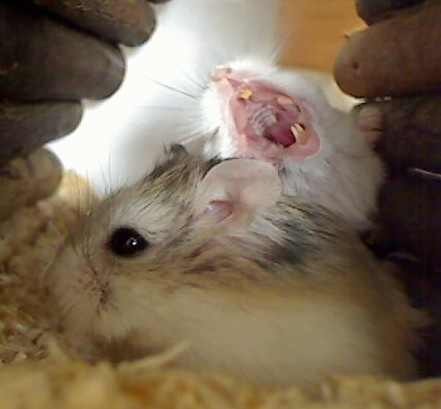 Tac yawning on the Tic and Tac cam! by roborovski hamsters.