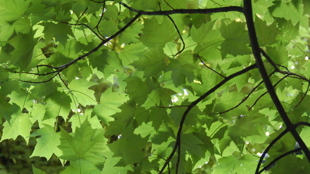 green_leaf_canopy_close