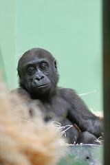 2008-06-26-16h43m33.IMG_1745e (A.J. Haverkamp) Tags: zoo rotterdam blijdorp gorilla dierentuin diergaardeblijdorp westelijkelaaglandgorilla httpwwwdiergaardeblijdorpnl canonef300mmf4lisusmlens