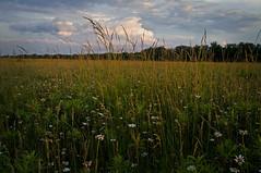 (baldwinm16) Tags: sunset sky nature grass clouds illinois dusk daisy wildflowers springbrook springbrookprairie illinoisforestpreserve springbrookprairieforestpreserve