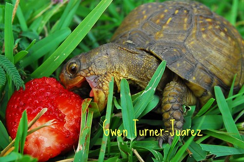 Turtle Attacks Strawberry! / Gwen Turner-Juarez