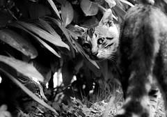 Questa  casa mia e qui comando io!!!! (Monia Sbreni) Tags: blackandwhite bw cats blancoynegro animals cat blackwhite bn gatto gatti bianconero animali biancoenero blancinegre blanconegro moniasbreni