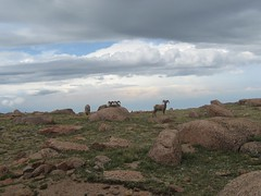 We saw wild bighorn sheep near the Pikes Peak summit. (07/06/2008)