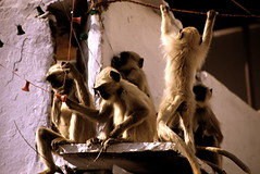 monkeys in city   India (GrazianoA) Tags: india nature animals monkey earthasia lifetravel