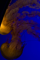 jellyfish_4 (tdc_raven) Tags: ocean blue orange jellyfish