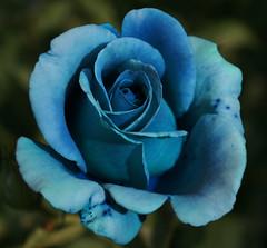 Hybrid (.Carter.) Tags: seattle park blue flower macro animal rose canon woodland rebel zoo best petal wa woodlandparkzoo bestofthebest artcafe xti canonrebelxti wonderfulworldofflowers damniwishidtakenthat worldglobalaward globalworldawards washingtonblue artcafedomidoexhibitionscomein