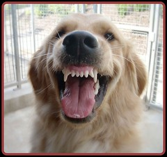 Smiler (skoop102) Tags: hairy dog dogs smile smiling tongue goldenretriever fur nose happy golden oscar scary furry funny teeth fluffy retriever smiley toothy flatcoat retrievers smiler guidedog trainee flatcoatretriever