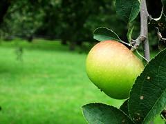 Prairie Grove apples