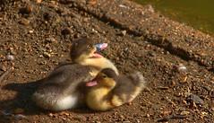Animals (Thor Lux) Tags: duck nikond50 chick animalplanet tonemapping fdrtools thewonderfulworldofbirds sigmalens18200mm